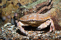 Taschenkrebs, Cancer pagurus, European edible crab, brown crab