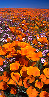 906500001 vertical panoramic view - a field of wildflowers california poppies eschscholtzia californica and hollyleaf or davys gilia gilia latiflora ssp. davyi at lancaster poppy preserve california