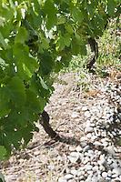 Europe/France/Aquitaine/33/Gironde/Saint-Seurin-de-Cadourne: Château Verdignan: Le Vignoble - Terroir de Graves