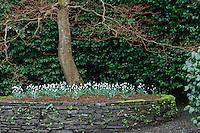 Galanthus S. Arnott planted under Cornus controversa 'Variegata