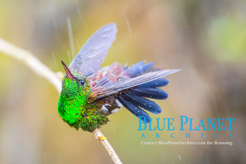 Trinidad copper-rumped hummingbird, Amazilia tobaci erythronota, male, bathing in rain, an endemic subspecies of copper-rumped hummingbird, Amazilia tobaci, Trinidad, Trinidad and Tobago