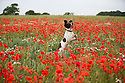 10/07/15<br /> <br /> Springer spaniel, Chester, jumps for joy in a field of poppies near Brailsford, Derbyshire.<br /> <br /> <br /> All Rights Reserved: F Stop Press Ltd. +44(0)1335 418629   www.fstoppress.com.