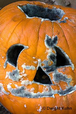 DC09-587z   Bread Mold growing on Pumpkin Jack-o-Lantern, Rhizopus stolonifer