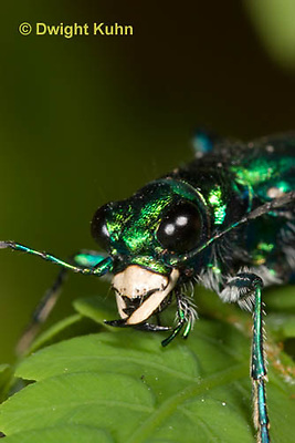 1C35-589z Six-spotted Green Tiger Beetle close-up of face, compound eyes, and jaws, Cicindela sexguttata
