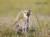 Dr. Xiong, ANIMALS, wildlife, photos, AUJX110,#a#