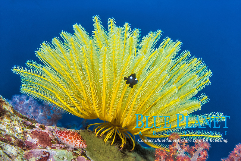 Crinoid, Comanthina schlegeli, with Three Spot Damselfish, Pomacentrus tripunctatus, Similan Islands Marine National Park, Thailand, Andaman Sea, Indian Ocean