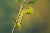 Totenkopfschwärmer, Totenkopf-Schwärmer, Raupe frisst an Liguster, Acherontia atropos, Death's-head Hawk moth, caterpillar, Le Sphinx tête de mort, Schwärmer, Sphingidae, hawkmoths, hawk moths, sphinx moths, sphinx moth, hawk-moths, hawkmoth