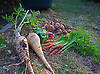 Allotment Produce - Root Vegetables, Parsnips, Carrots, Onions.<br /> <br /> Stock Photo by Paddy Bergin