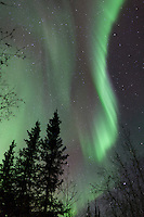 Aurora borealis and starry night sky against silhouetted spruce trees in Alaska's Brooks Range.