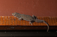 Common House Gecko (hemidactylus frenatus) - Siquirres, Costa Rica.