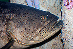 goliath grouper, close-up of face