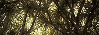 """France/DOM/Martinique/Balata/Les jardins: Bakoua """"Pandanus Sanderi"""" au feuillage panaché"""