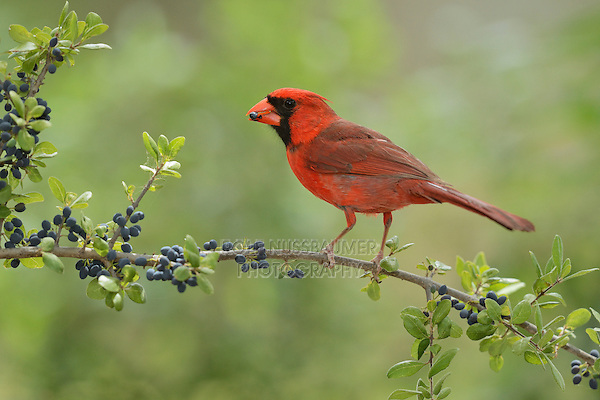 Northern Cardinal (Cardinalis cardinalis), adult male eating Elbow bush (Forestiera pubescens) berries, Hill Country, Texas, USA