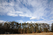 Pine tree forest on the edge of a field in New Hampshire USA which is part New England