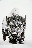 Bison on cold, snowy day (was 40 below zero).  Yellowstone National Park, Wy.  Winter.
