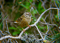 Zippammer, Zipp-Ammer, Jungvogel, Emberiza cia, rock bunting, Le Bruant fou
