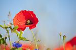 Europa, DEU, Deutschland, Nordrhein-Westfalen, Niederrhein, Klatschmohn (Papaver rhoeas), auch Mohnblume oder Klatschrose, Bluete, Natur, Umwelt, Pflanzen, Pflanzenkunde, Botanik, Biologie, <br /> <br /> [Fuer die Nutzung gelten die jeweils gueltigen Allgemeinen Liefer-und Geschaeftsbedingungen. Nutzung nur gegen Verwendungsmeldung und Nachweis. Download der AGB unter http://www.image-box.com oder werden auf Anfrage zugesendet. Freigabe ist vorher erforderlich. Jede Nutzung des Fotos ist honorarpflichtig gemaess derzeit gueltiger MFM Liste - Kontakt, Uwe Schmid-Fotografie, Duisburg, Tel. (+49).2065.677997, ..archiv@image-box.com, www.image-box.com]