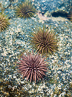 Sea urchins in a tide pool, Kona, Big Island.