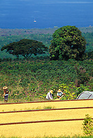 Kona coffee beans drying in the sun with workers in the background
