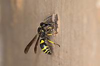 Mauer-Lehmwespe, Mauerlehmwespe, Lehmwespe, Schwarzfühler-Hakenwespe, Weibchen verschließt Nestloch mit Lehm, Nest, Niströhre, Nestloch, Ancistrocerus nigricornis, Solitäre Faltenwespen, Eumeninae, potter wasp, female, potter wasps, mason wasp, mason wasps, Lehmwespen. Wildbienen-Nisthilfe, Wildbienen-Nisthilfen, Wildbienenhotel, Insektenhotel, Wildbienen-Hotel, Insekten-Hotel