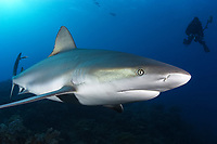 Caribbean reef shark (Carcharhinus perezii) and scuba diver, Bahamas, Caribbean, Atlantic