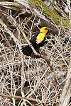Yellow-headed Blackbird, North Dakota.