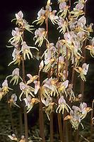 Blattloser Widerbart, Ohnblatt, Epipogium aphyllum, ghost orchid, L'épipogon sans feuilles