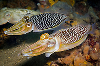 mourning cuttlefish, Sepia plangon, male courtship display, Port Stephens, New South Wales, Australia, Pacific Ocean