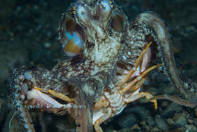 Octopus eating Crab Ambon
