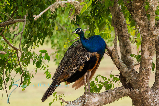 Indian Pea fowl, Peacock in a tree