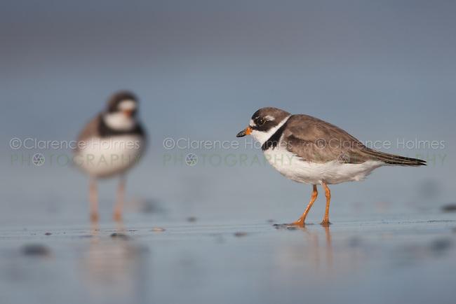 Semipalmated Plovers (Charadrius semipalmatus), Nickerson Beach, Lido Beach, NY