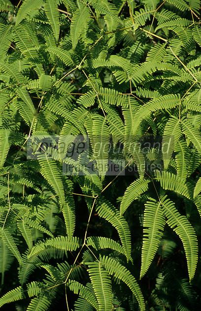 Asie/Malaisie/Penang: La Jungle (fougère comestible)