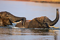 African Elephant bulls (Loxodonta africana) engaging in dominance behavior and play while cooling off in lake.  Lake Kariba, Matusadona National Park, Zimbabwe.