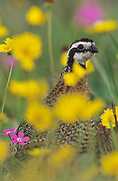 Northern Bobwhite, Colinus virginianus,male in wildflowers, Lake Corpus Christi, Texas, USA