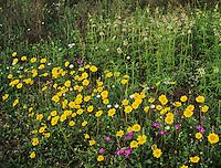 Wildflowers, Raymondville, Rio Grande Valley,Texas, USA