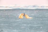 Young male Polar Bears (Ursus maritimus) get in each other's face.  We saw lots of posturing and wresting in the water from these two - very entertaining.  The fighting isn't serious.  Amazing how agile and powerful these bears are in the water.