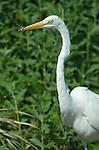 USA, FL, Sanibel, Ding Darling NWR, Great White Egret (Egretta alba) Eating Lizard