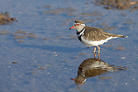 This three-banded plover was wading in a drying riverbed at Mashatu.