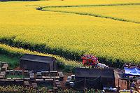 Luoping, Yunnan. Au village de Jinji Lin, un chemin permet de se balader dans les champs de fleurs et d'accéder aux collines. Les apiculteurs s'installent près de ce chemin pour bénéficier de cette manne financière inespérée.///Luoping, Yunnan. In the village of Jinji Lin, a lane allows tourists to walk through the fields of flowers and reach the hills. The beekeepers position themselves near the lane to profit from this financial manna.