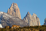 Mountain Lion (Puma concolor) female in front of mountains, Torres del Paine, Torres del Paine National Park, Patagonia, Chile