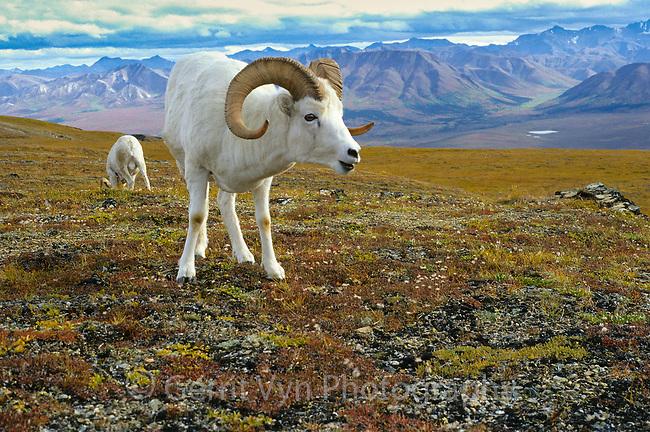 Mature ram Dall Sheep (Ovis dalli). Denali National Park, Alaska. September.