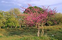 Gewöhnlicher Judasbaum, Cercis siliquastrum, Siliquastrum orbicularis, Judas tree, Judas-tree, L'Arbre de Judée. Kauliflorie, Cauliflorie, Stammblütigkeit, Cauliflory