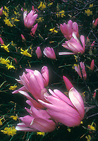 Magnolia x 'Jane' flowers in spring with Daffodils