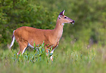 White-tailed doe standing in a summer meadow in northern Wisconsin.