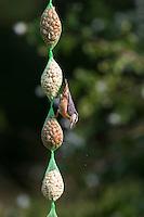 Kleiber an der Vogelfütterung, Erdnüsse, Spechtmeise, Sitta europaea, Eurasian nuthatch. Ganzjahresfütterung, Vögel füttern im ganzen Jahr, Vogelfutter, Futterschlauch