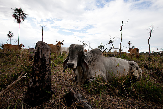 Guatemala, Petén, Mayan Biosphere Reserve, Land Conflicts, Cows next to the community Nueva Amanecer(New Dawn)