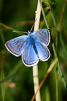 Blue butterfly on a reed.. 1130x1695