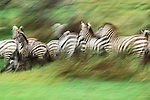 Grant's zebras in motion, Serengeti National Park, Tanzania<br />