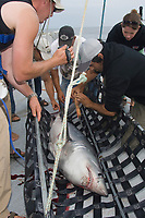 A team of researchers led by Dr Steve Turnbull from the University of New Brunswick tag and measure a Porbeagle Shark, Lamna nasus, on the deck of the Storm Cloud in the Bay of Fundy, Canada.