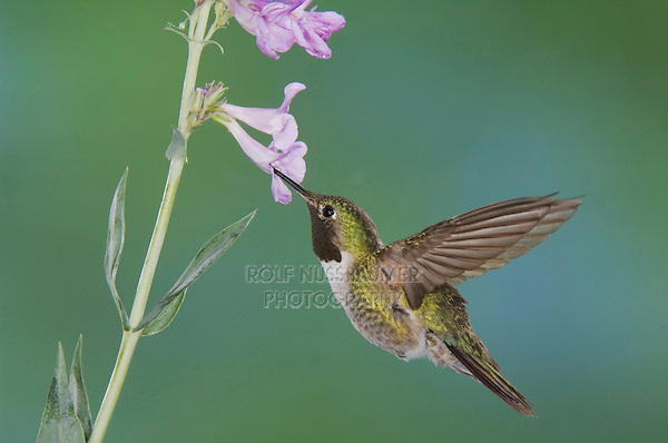 Broad-tailed Hummingbird, Selasphorus platycercus,male in flight feeding on Penstemon flower(Penstemon sp.),Rocky Mountain National Park, Colorado, USA, June 2007